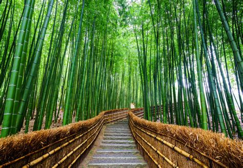 path  bamboo forest arashiyama kyoto japan custom