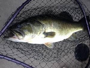 Big Bass On Lake Okeechobee