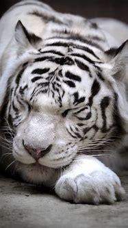 Sleeping white tiger Poster | Posterlounge