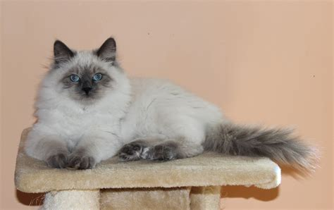 cats siberian miracle cattery