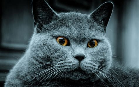 Blue Cats - russian blue cat 1920 x 1200 animals photography
