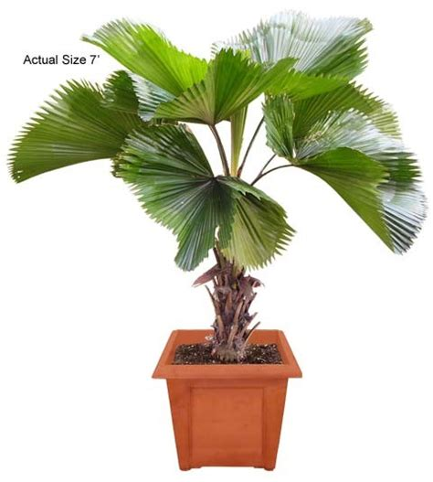planting fan palm trees medium ruffled fan palm tree licuala grandis gardening