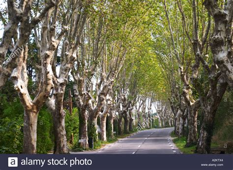A Tree Lined Country Road Allee With Plane Trees Platanes