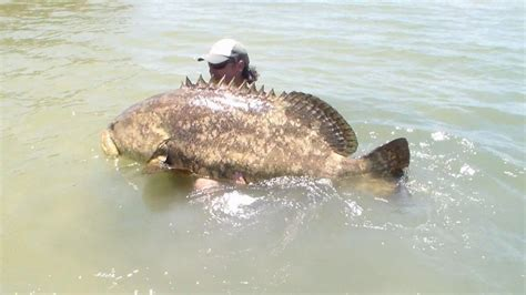 grouper fish goliath caught kayak giant biggest ever pound catches angler screaming fishing pounds landed estimated likely jon catch mero