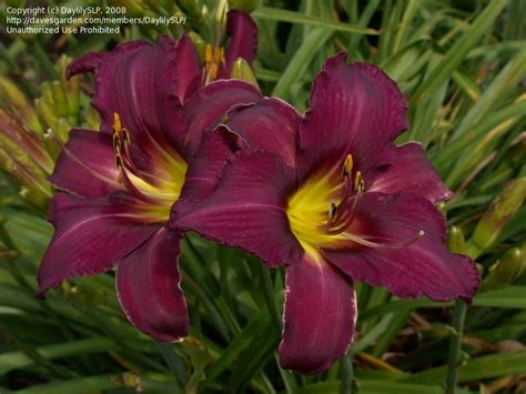 foto de PlantFiles Pictures: Daylily 'Wayside King Royale