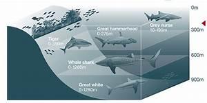 Sharks  Ultimate Guide To Australian Sharks