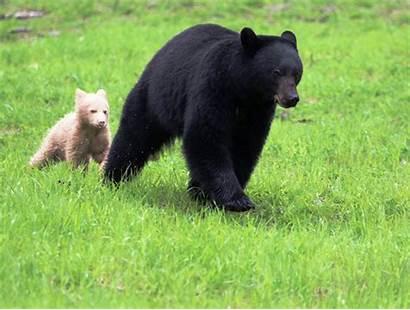 Bear Cub Cream Rare Coloured Whistler Creates