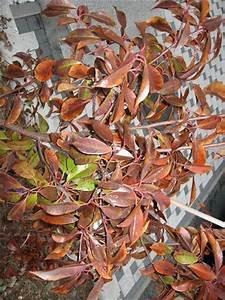 Kirschlorbeer Braune Blätter : glanzmispel hat dunkelrote bis braune bl tter frostschaden was tun mein sch ner garten forum ~ Frokenaadalensverden.com Haus und Dekorationen