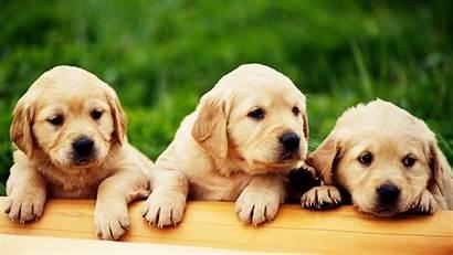Puppy Wallpapers Wallpapersafari Puppies