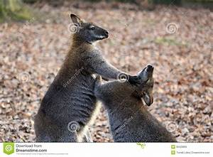 Kangaroo fight stock photo. Image of joey, iconic, ears ...