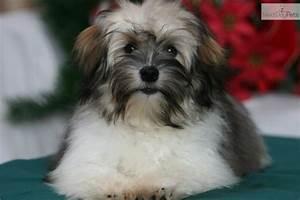 Havanese puppy for sale near Brainerd, Minnesota ...