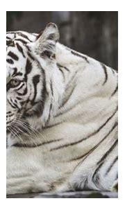 White Tiger: Majestic Sultan- India's precious gift to ...