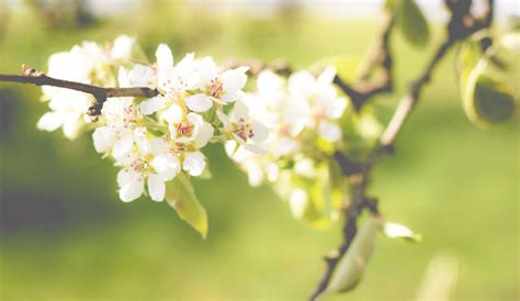 callery pear beauty beast horticulture agent explains invasive