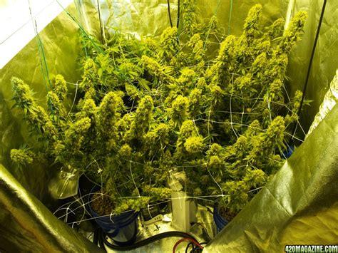 grow ls for indoor plants sumloud s grow 2 x 300w led indoor scrog 2 x