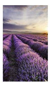 nature, Purple, Lavender HD Wallpapers / Desktop and ...