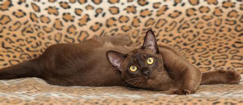 non shedding cats 10 top non shedding cats care