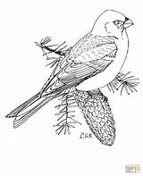 Coloring Grosbeak Pine Bunting Printable Snow Marten Drawing Bird Crafts Supercoloring Select Cartoons Nature Designlooter Adult Templates Paper Categories 09kb sketch template
