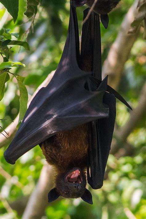 volpe volante file indian flying fox pteropus giganteus kolkata west