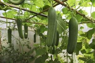 Best Pot Plant For Bathroom by Growing Cucumbers In Container Gardens