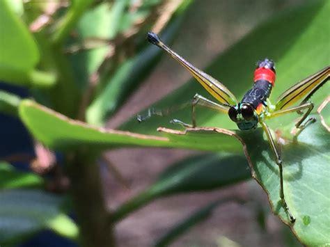 Gambar : jangkrik, invertebrata, damselfly, fotografi ...