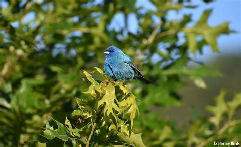 How To Attract Indigo Buntings To Your Backyard by How To Attract Indigo Bunting Exploring Birds