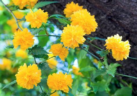 fr 252 hling busch mit gelben bl 252 ten stockfoto 169 wildman 5038715