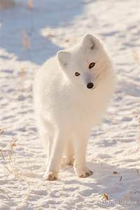 Cute Arctic Fox    Foxes