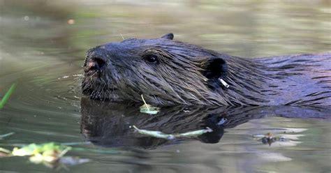 beavers  great   environment  neighbors
