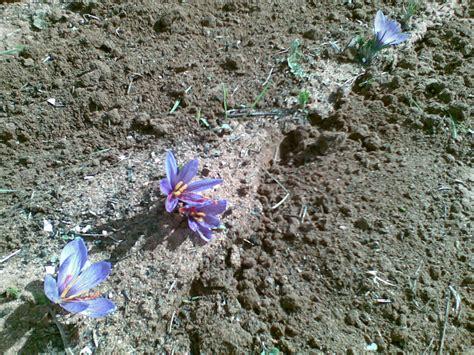 forum growing saffron flower
