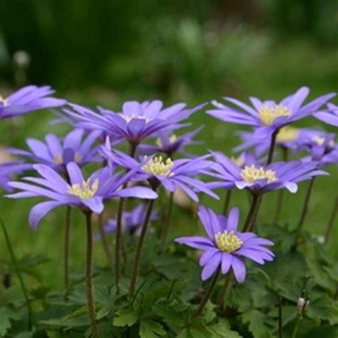 buy winter windflower blue flowered bulbs anemone blanda