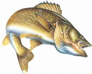 Walleye - Fishes