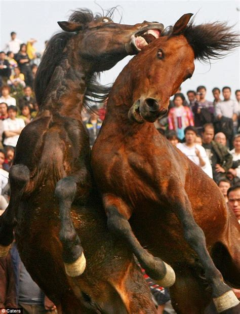 'Barbaric' horse fighting festival takes place in China ...