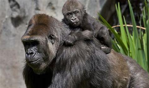 Koko Gorilla Sign Language