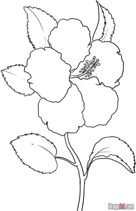 wanted  draw    flower drawing hibiscus drawing