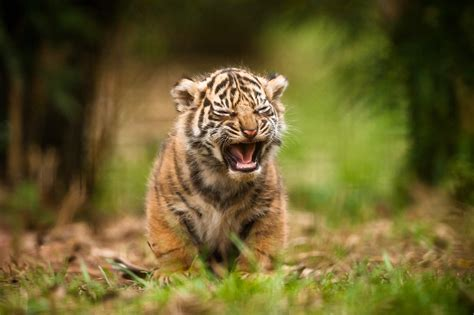 Baby Animals Hd Wallpapers - animals tiger baby animals wallpapers hd desktop and