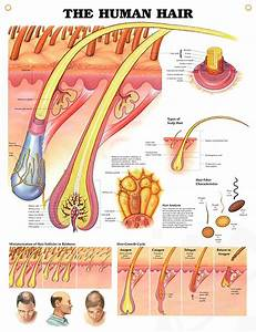 Human Hair anatomy poster for medical office and classroom