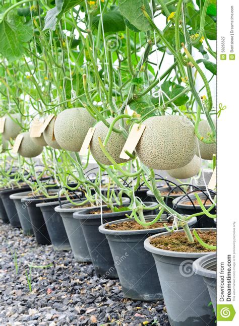 how to grow cantaloupe cantaloupe melons in a greenhouse stock photo image 58265627