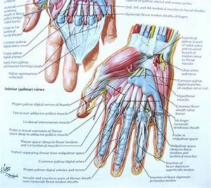Notes On Anatomy And Physiology  The Hand And The Tiger U2019s Mouth