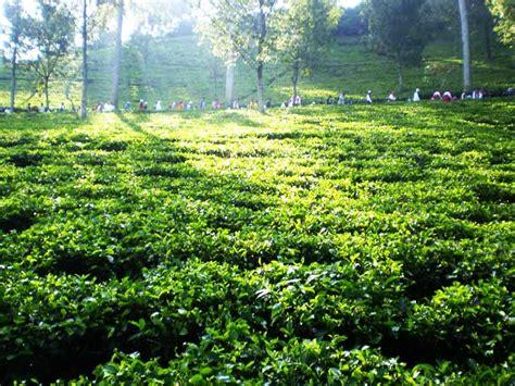 kebun teh wonosari wisata indonesia