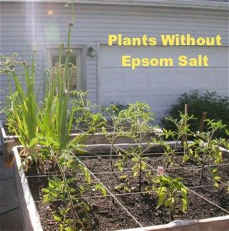 salt ls and plants handy list of how much epsom salt to use garden startup