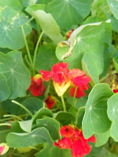 Garden Nasturtium by Nasturtiums The Benefits Of These In The Garden