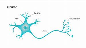 Why Are Neuron Axons Long And Spindly  Study Shows They U0026 39 Re