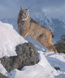 Canadian Siberian Lynx Cat
