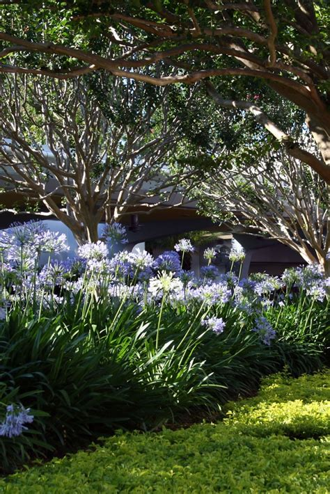 landscaping with agapanthus agapanthus the lily of the nile in the garden pinterest the o jays beds and lilies
