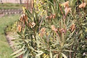 Laurier Rose Maladie : laurier rose feuilles s ches ~ Melissatoandfro.com Idées de Décoration