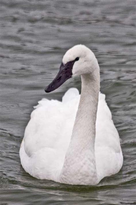 trumpeter swan swans bird ohio native ontario animals nz paintings mute gwillimbury cameragirl east 2199 17b