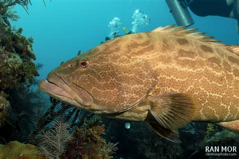 grouper cuba gardens queen underwater