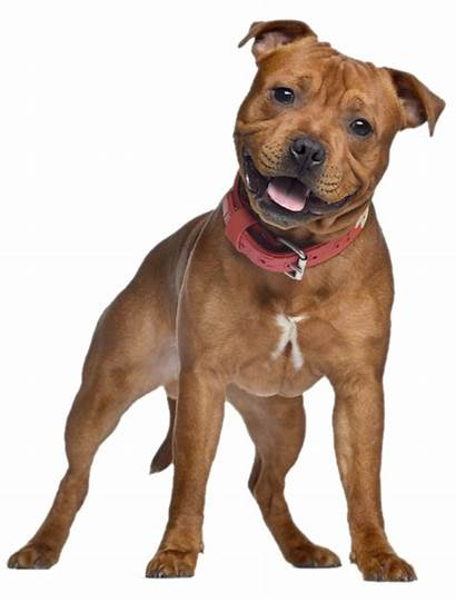 Dog Pets Terrier Bull Dogs Staffordshire Happy