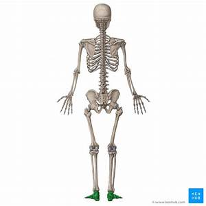 Bones Of The Human Body  Overview And Anatomy