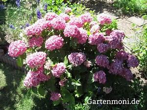 Hortensien Pflege Balkon : hortensien pflegen und schneiden gartenmoni altes ~ Lizthompson.info Haus und Dekorationen